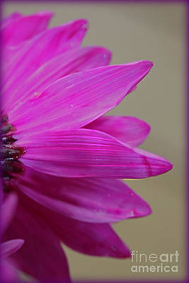 Photograph - Pink Ray Florets by Patti Whitten