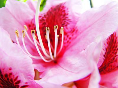 Pink Rhodie Flowers Art Prints Canvas Rhododendrons Baslee Troutman Art Print by Baslee Troutman