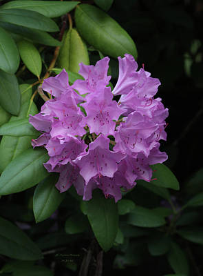 Photograph - Pink Rhodies In Bloom by Jeanette C Landstrom