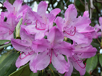Photograph - Pink Rhodies by Leslie Montgomery