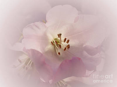 Photograph - Pink Rhododendron 3 by Rudi Prott