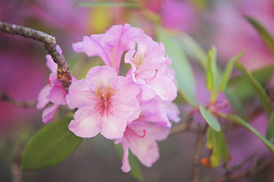 Photograph - Pink Rhododendron Flowers by Jenny Rainbow