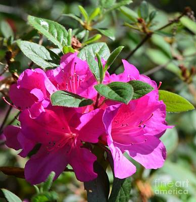 Photograph - Pink Rhododendron by Maria Urso
