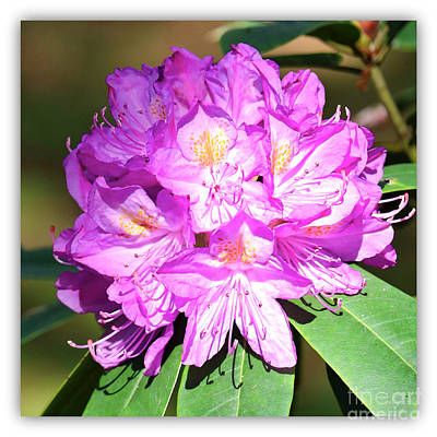 Photograph - Pink Rhododendron Square With White Border by Carol Groenen
