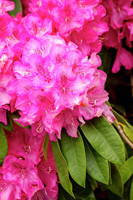 Photograph - Pink Rhododendron by Teri Virbickis
