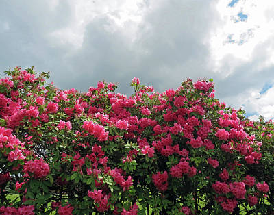 Photograph - Pink Rhododendrons by Pema Hou
