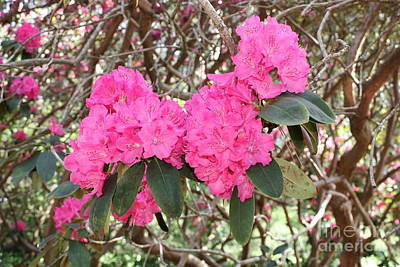 Pink Rhododendrons With Branches Art Print
