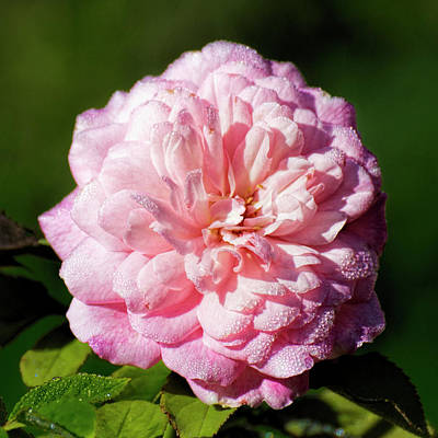 Photograph - Pink Rose -01 by Rob Graham