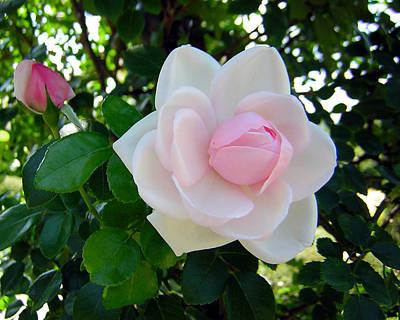 Pink Rose 2 Art Print by George Jones