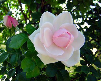 Pink Rose 2 Art Print