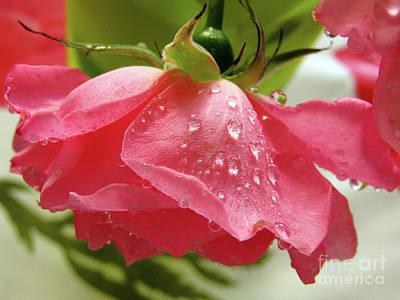 Pink Rose #3 Art Print