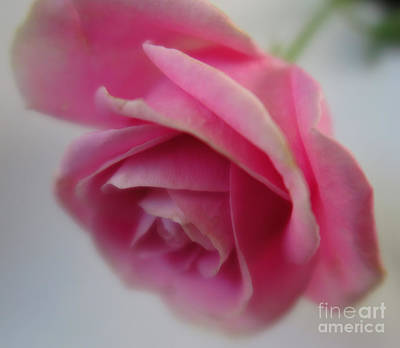 Photograph - Pink Rose 3 by Tara Shalton