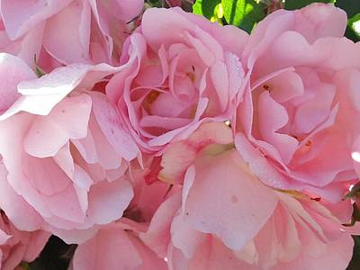 Photograph - Pink Rose 6 by Nancy Pauling