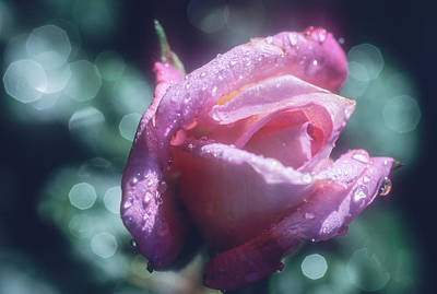 Photograph - Pink Rose After Rain by John Brink