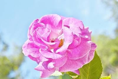 Pink Rose Against Blue Sky IIi Art Print