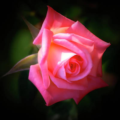 Photograph - Pink Rose by Albert Seger