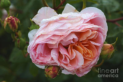 Photograph - Pink Rose And Added Promise by Joy Watson