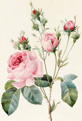 Floral Drawing - Pink Rose And Buds by Louise D'Orleans
