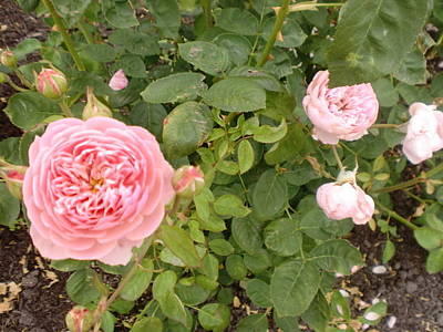 Photograph - Pink Rose by Ann Yamagishi