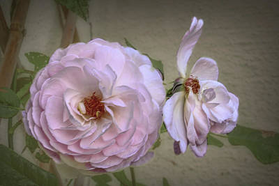 Photograph - Pink Rose #b4 by Leif Sohlman