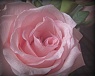 Photograph - Pink Rose Bliss by Suzy Piatt