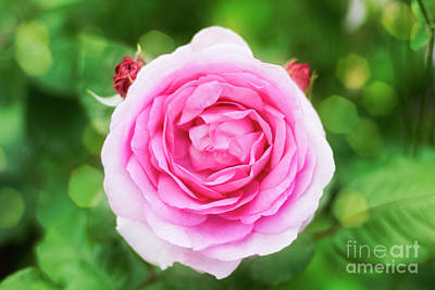 Photograph - Pink Rose Bokeh by Terri Waters
