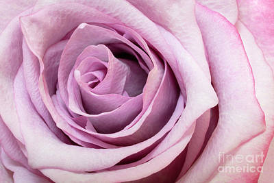 Photograph - Pink Rose by Brian Jannsen