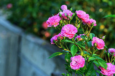 Photograph - Pink Rose Bumches by Vishwanath Bhat
