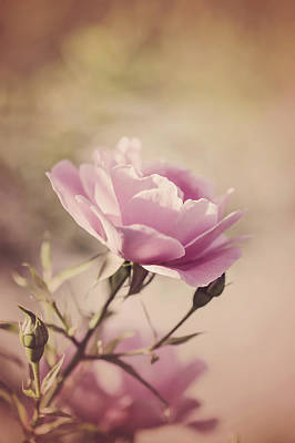 Photograph - Pink Rose by Cindy Grundsten