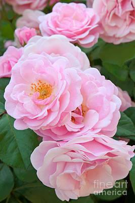 Cargo Boats - Pink Rose Cluster by Regina Geoghan