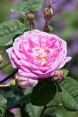 Photograph - Pink Rose by Dawn Cavalieri