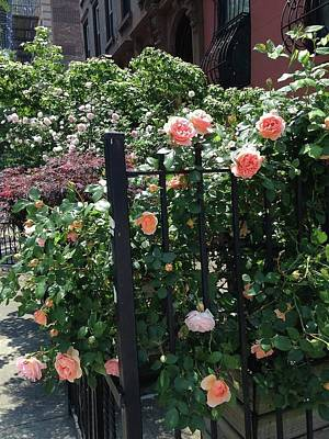 Pink Rose Fence Art Print