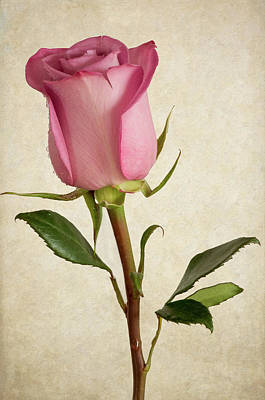 Photograph - Pink Rose by Garvin Hunter