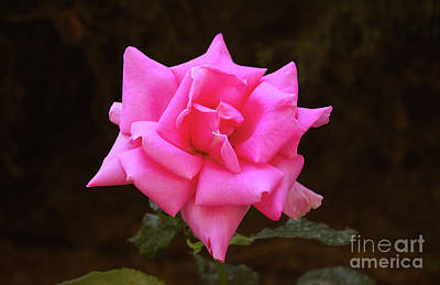 Photograph - Pink Rose Greece by Donna L Munro