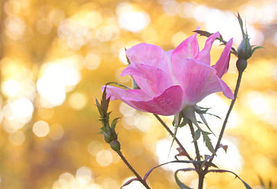 Photograph - Pink Rose In The Light Of Fall by Trina  Ansel
