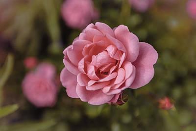 Mellow Yellow - Pink rose instagram by Anna Matveeva
