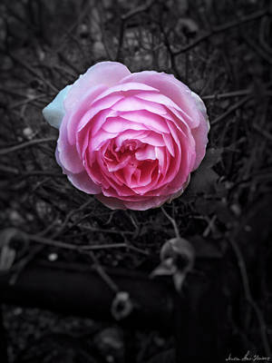 Photograph - Pink Rose by Iowan Stone-Flowers