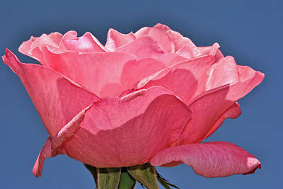 Photograph - Pink Rose by Isam Awad