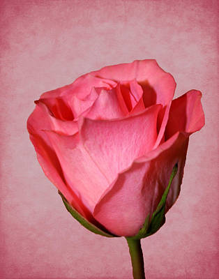 Photograph - Pink Rose by Judy Vincent