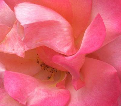 Photograph - Pink Rose by Karen Molenaar Terrell
