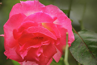 Photograph - Pink Rose by Kelly Hazel