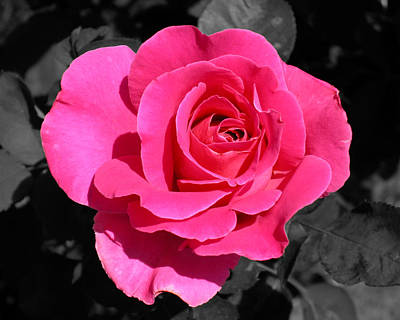 Perfect Pink Rose Art Print