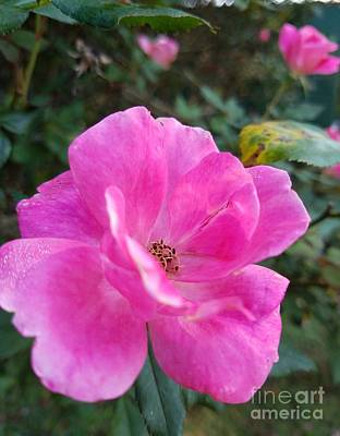 Photograph - Pink Rose Of Autumn by Maria Urso
