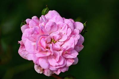 Photograph - Pink Rose Petals by Richard Gregurich
