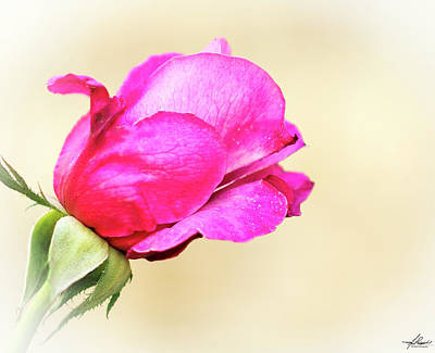 Photograph - Pink Rose by Philip Rispin