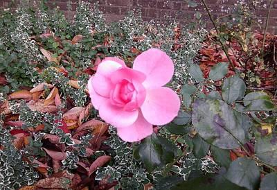 Photograph - Pink Rose Photo 825 by Julia Woodman