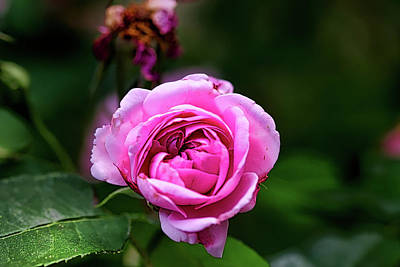 Photograph - Pink Rose by Richard Gregurich