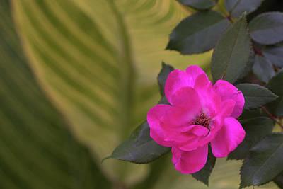 Photograph - Pink Rose San Antonio Texas River Walk by Lawrence S Richardson Jr