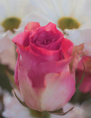 Photograph - Pink Rose by Shirley Radabaugh