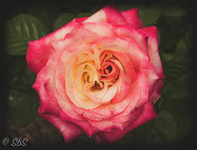 Photograph - Pink Rose by Stefanie Silva